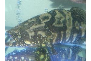 Cá mú trân châu - Perl grouper
