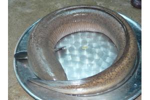 Cá chình lóc - Anguilla bicolor eel