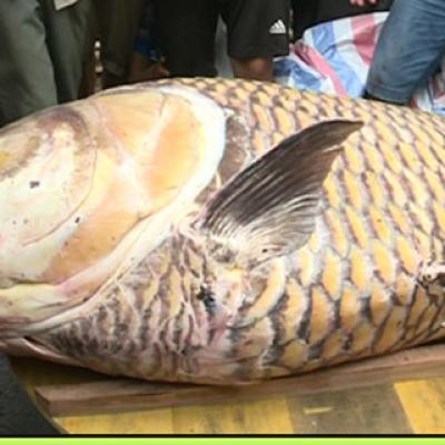 Cá Hô Khủng Nhúng Mẻ 0.5kg (Loại ĐB Thịt)