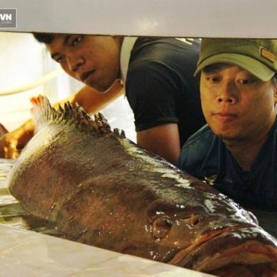 Cá biển dài gần 1,6m, nặng 130kg tung tăng trong bể kính ở Hàng Dương Quán
